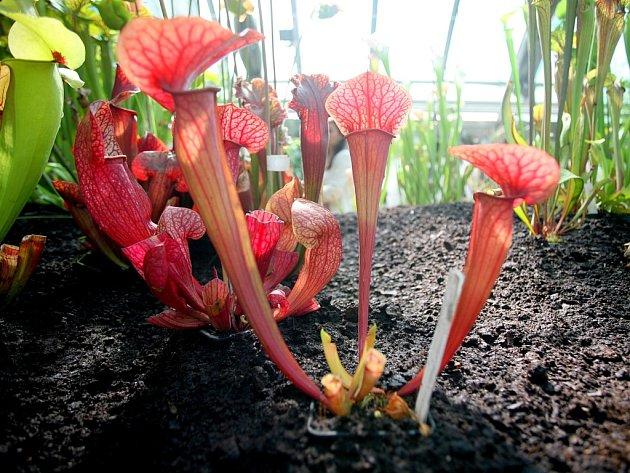 Několik set vzácných masožravých rostlin vystavuje Botanická zahrada Masarykovy univerzity. Tyto rostliny se v přírodě vyskytují na místech, kde je půda velmi chudá na živiny, například v bažinách a rašeliništích.