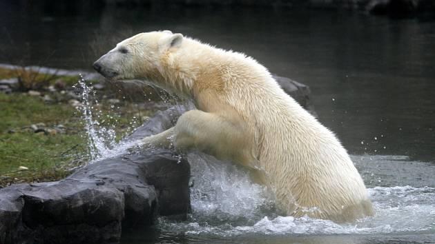Lední medvěd Bill.