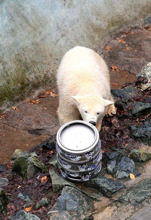 Lední medvědi Kometa a Nanuk oslavili první narozeniny.