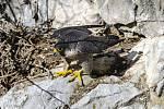 V krasu tokají dva páry sokolů. Ochránci uzavřeli okolí Býčí skály.