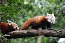 Siddhi. Takové jméno dostal samec pandy červené, který se narodil letos v květnu v Zoo Brno. Ve zmíněné zahradě se jedná o první odchované mládě tohoto zvířete. Jméno mu vybrali lidé v hlasování na facebookovém a instagramovém profilu. FOTO: ARCHIV ZOO BR