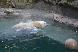 Nový bazén pro medvědici Coru v brněnské zoo.