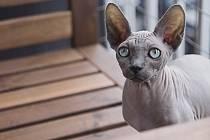 Kočka Sphynx. Ilustrační foto