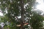 Vzrostlý strom se stal terčem neznámých vandalů.