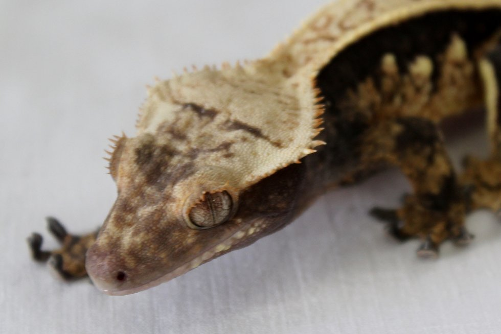 V kongresovém centru na brněnském výstavišti v neděli vystavovali a prodávali gekony, chameleony, hady i akvarijní rybky.