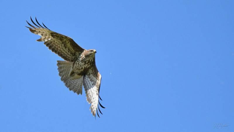 Zachycení ptáků v přírodě je pokaždé plné překvapení. Na snímku je káně lesní.
