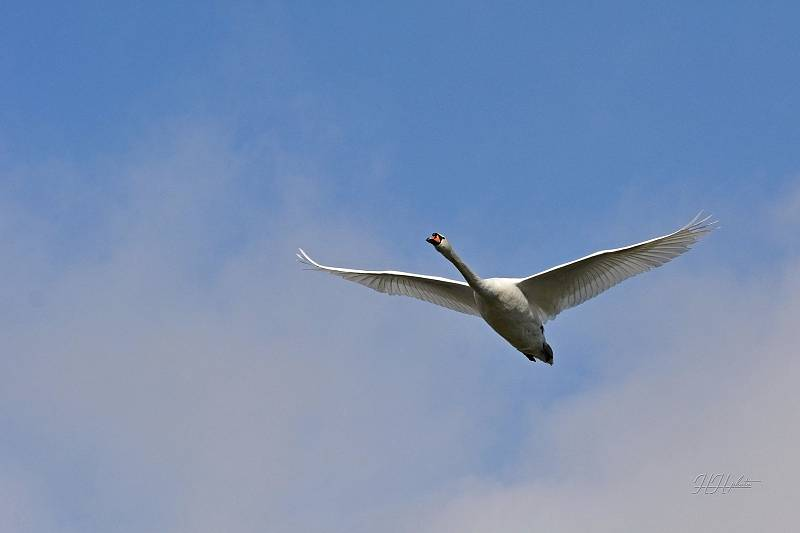 Zachycení ptáků v přírodě je pokaždé plné překvapení. Na snímku je labuť velká.