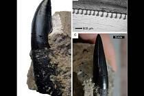 Exemplář zubu dinosaura, kterého identifikoval Daniel Madzia.