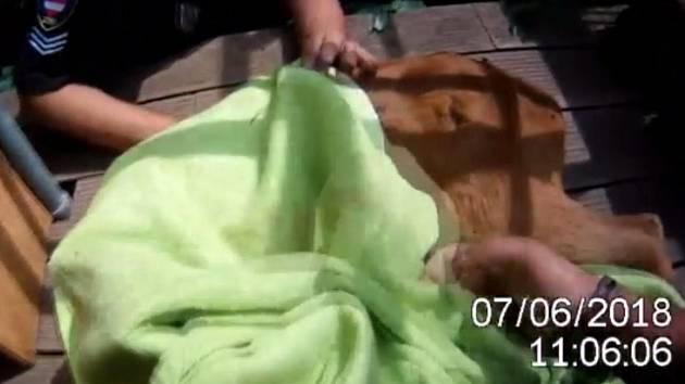 Zaklíněného srnce ve čtvrtek dopoledne vyprostila hlídka a odchytová služba městské policie v královopolské Myslínově ulici.