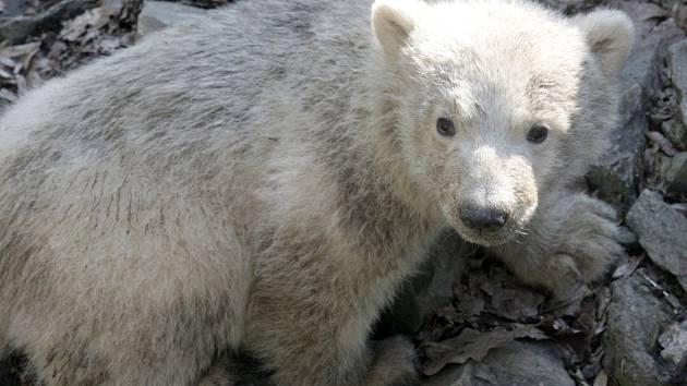 Nově narozené lední medvídě je podle veterináře samička. Lidé pro ni nyní mohou navrhovat jméno.