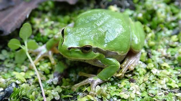 V tůních Chráněné krajinné oblasti Pálava se vykytuje i rosnička zelená.
