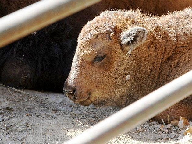 Mládě bizona amerického v brněnské zoo.
