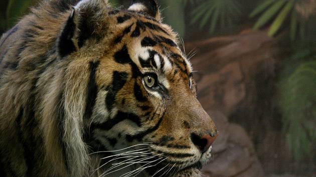 Také tygři z brněnské Zoo přivítají přebytky ze zahrádek návštěvníků. Dýně jim poslouží pro zpestření a obohacení dne.