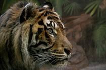 Tygři z brněnské zoo.