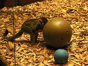 Speciální hračky pro zvířata dávají chovatelé v brněnské zoo například i pásovcům, papouškům nebo opicím.