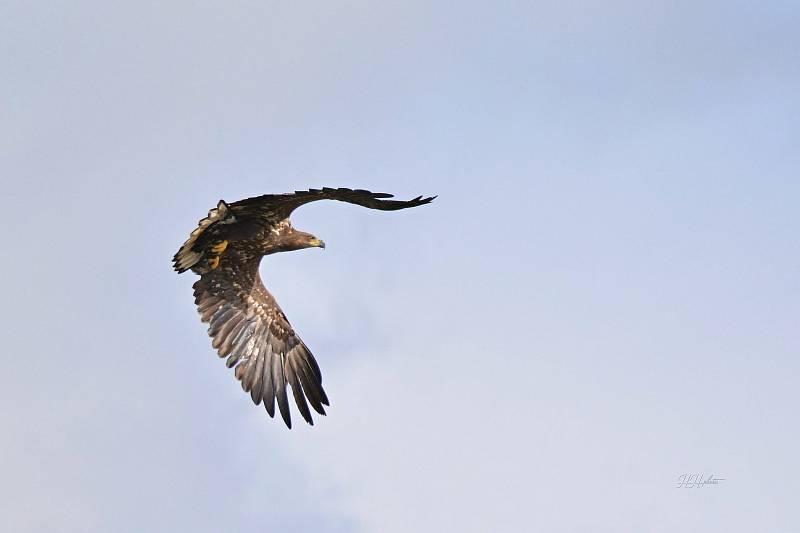 Zachycení ptáků v přírodě je pokaždé plné překvapení. Na snímku je orel mořský.