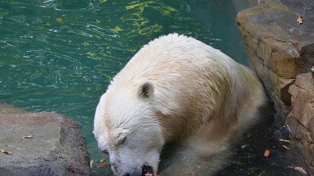 Nový bazén pro medvědici Coru v brněnské zoo