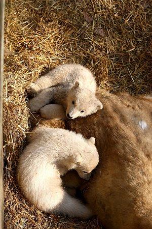 Lední medvědice Cora vsobotu poprvé vyvedla svá mláďata do výběhu vbrněnské zoologické zahradě.