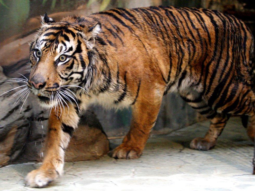 Do brněnské zoo přijel tygří samec z Jihlavy