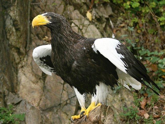 Orel kamčatský v brněnské zoo.