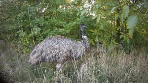 Výlet ptáka emu Hugiše na svobodu je u konce