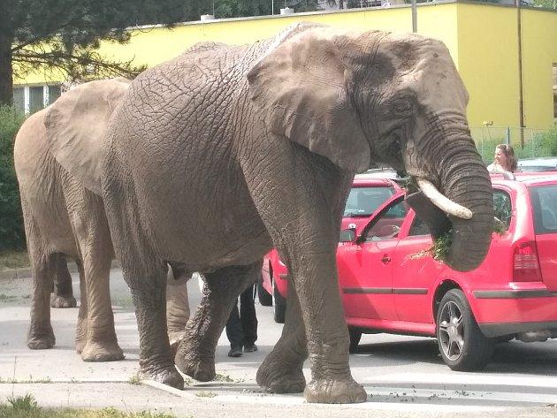 Pozor, slon. Zvíře z nedalekého cirkusu se motalo u silnice v Hněvkovského ulici
