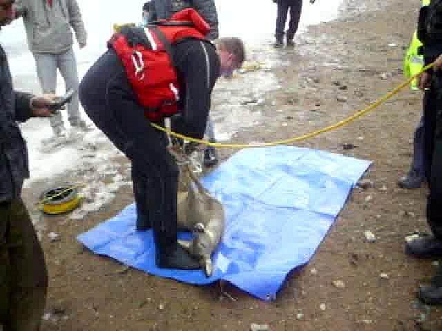 Uvízlou srnu zachánili z přehrady brněnští strážníci.