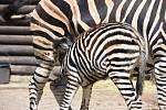Mládě zebry Chapmannovy ve výběhu. Zoo Hodonín