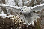 Zimní šampionát zvířat v brněnské ZOO -  sovice sněžní.