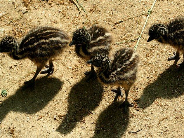 Mláďata pštrose emu.