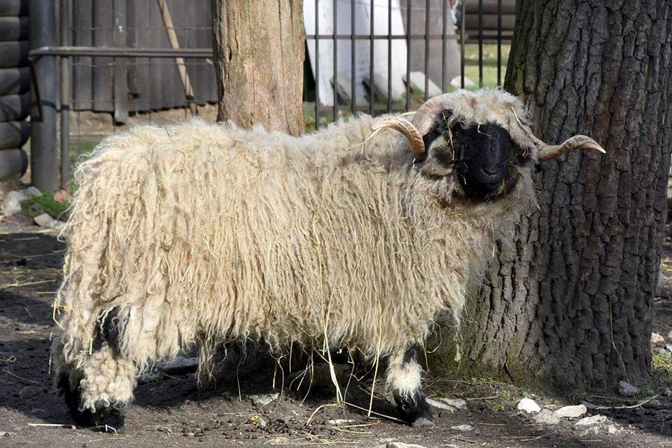 Beran walliserský - v zoo Hodonín