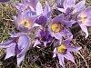 Krásné i jedovaté. Šedesát tisíc rozkvetlých konikleců zaplnilo Kamenný vrch
