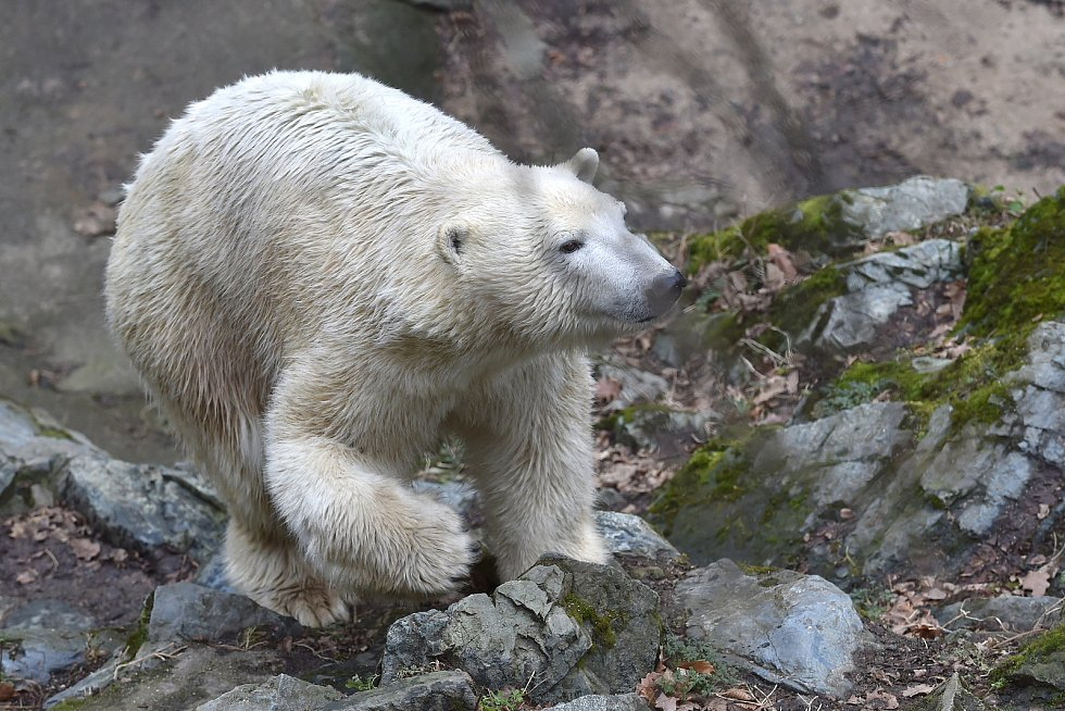 Vánoční krmění zvířat v brněnské zoologické zahradě.