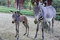 Přímo ve výběhu se ve středu ráno narodila samička zebry Grévyho. Je to první mládě hřebce Florise a nejzkušenější brněnské klisny Lady.