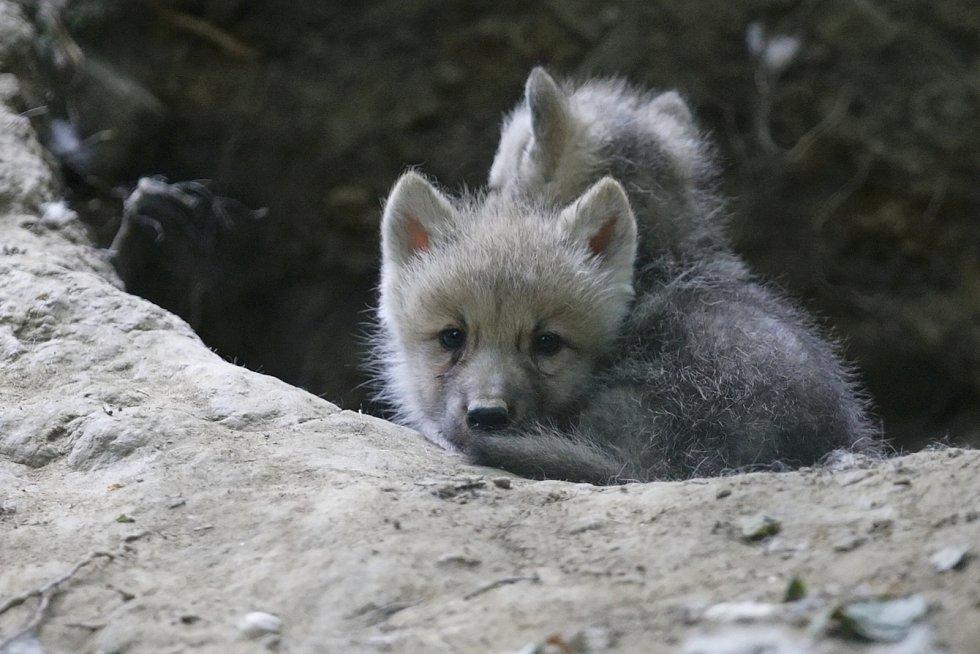 Mladému vlčímu alfa samci z Dánska se v brněnské zoologické zahradě evidentně daří. I díky jeho přičinění se narodilo už deset malých vlčat. V zoo tak mohli založit novou stabilní skupinu vlků arktických.