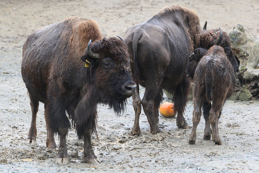 Brno 13.10.2020 - krmení bizonů v ZOO Brno
