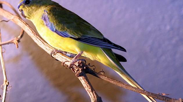 Lidé chovají méně papoušků a jiných ptáků. Mohou za to i zvyšující se počty alergiků.