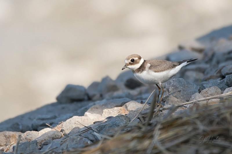Zachycení ptáků v přírodě je pokaždé plné překvapení. Na snímku je kulík písečný.