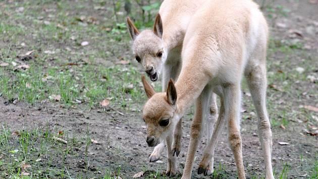 Dva nové přírustky brněnské zoologické zahrady - lama vikuňa.