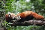 Siddhi. Takové jméno dostal samec pandy červené, který se narodil letos v květnu v Zoo Brno.