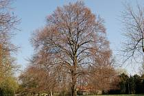 Vítězem jubilejního 10. ročníku celobrněnské ankety Brněnský strom roku se letos stal Buk lesní v parku Zámku Belcredi v Líšni.