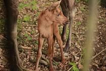V Zoo Brno se narodilo losí mládě. Je to kluk