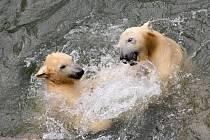 Brněnské zoo je v odchovu ledních medvědů úspěšné.