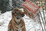 Tygří Vánoce v brněnské zoo.