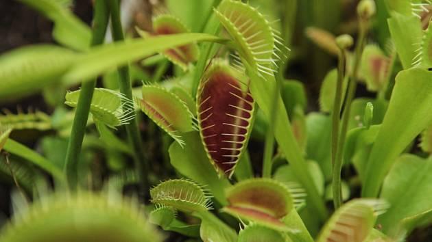 Prodejní výstava masožravých rostlin začala v Botanické zahradě brněnské Masarykovy univerzity.