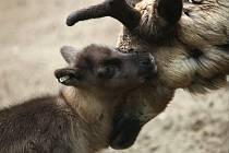 Začátkem května se sobí stádo brněnské zoo rozrostlo o tři mláďata.