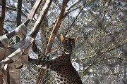 Kočkovité šelmy si nyní hoví v nové závěsné síti, kterou jim vůbec poprvé upletli návštěvníci.