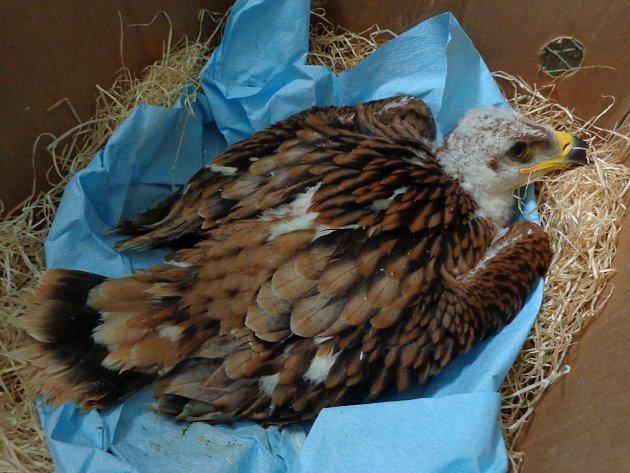 Zraněné mládě orla královského našlo adoptivní rodinu. Ošetřovatelé Záchranné stanice Rajhrad se o dravce starali od půlky června, kdy při bouřce vypadl z hnízda a zlomil si nohu.