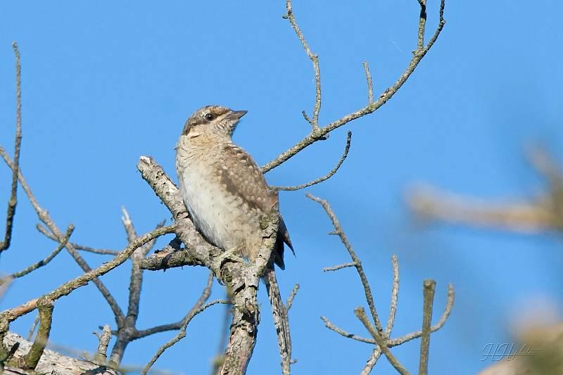 Zachycení ptáků v přírodě je pokaždé plné překvapení. Na snímku je krutihlav obecný.