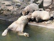 Tři kmotři pokřtili lední medvíďata, Billa a Toma.